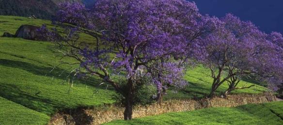 Jacara Malawi