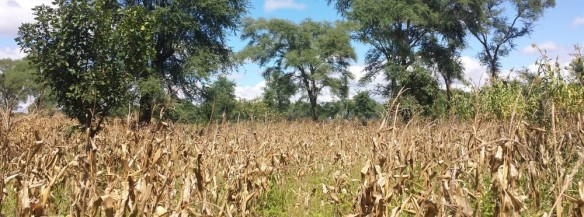 conservation-agriculture-with-trees-in-malawi
