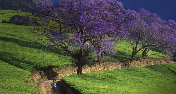 jacaranda_en-ca230486805